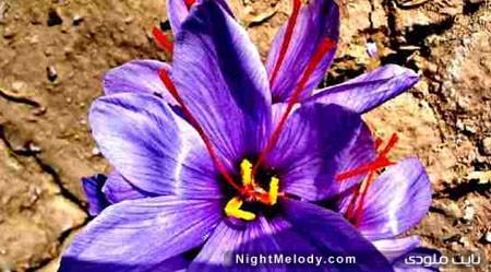 مقدار مجاز مصرف زعفران را می دانید؟