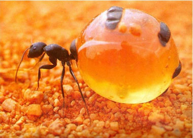 مورچۀ عسل را می شناسید!!